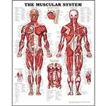 Anatomical Charts Posters - Anatomical Posters - Anatomical Diagrams