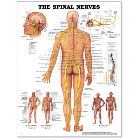 Spinal Nerves Poster 20 Quot X 26 Quot Styrene Cranial Nerves