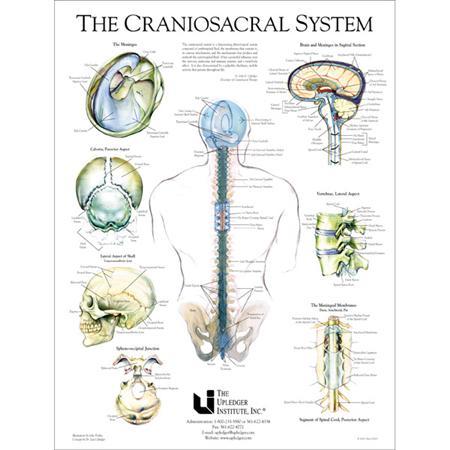 Buy Craniosacral System Poster 19 Quot X 25 Quot