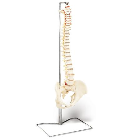 Economy Vertebral Column With Stand