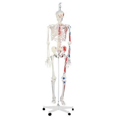Max The Muscle Skeleton W/ Hanging Stand