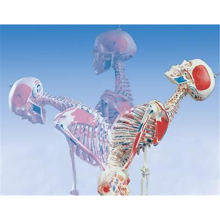 Sam-The Super Skeleton W/Pelvic Roller Stand