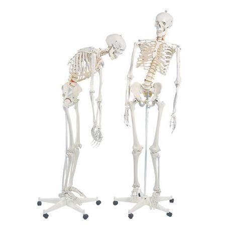 Fred-The Flexible Skeleton W/5' Roller Stand