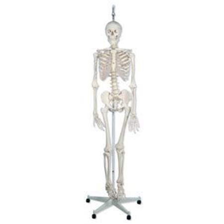 The Functional Skeleton On Hanging Stand