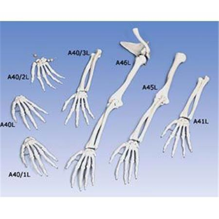 Hand Skeleton With Lower Arm - Right