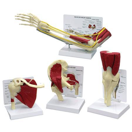 Life Sized Muscled Joint Set