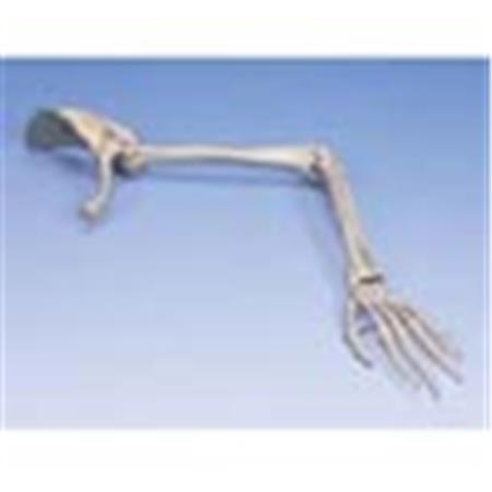 Arm Skeleton With Scapula & Clavicle - Right