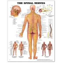 Buy Spinal Nerves Poster 20 Quot X 26 Quot Styrene