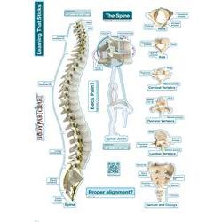 BodyPartChart Spine Poster Labeled