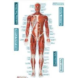 Bodypartchart Muscular System Front 26' X 39.5'