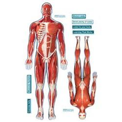 BodyPartChart Muscles, Front & Rear View