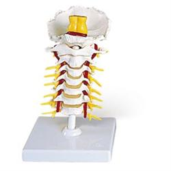 Flexible Cervical Vertebral Column
