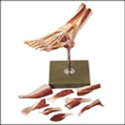 Muscles Of The Foot Model