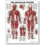 "The Male Muscular System 20"" X 26"" Styrene"