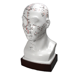 176 0153: Head Model - Acupuncture Point Model