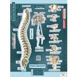 BodyPart Chart Spine-Labeled Wall Decal