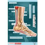 "BodyPartChart™ Cross Sections of the Foot 24.5"" x 32.5"" Labeled"