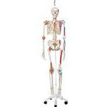 Sam The Super Skeleton W/ Hanging Stand