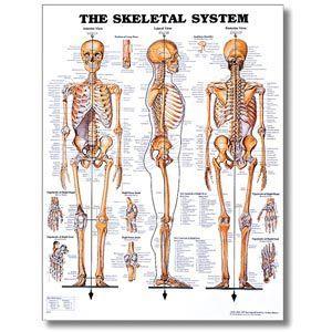 Skeletal System Poster 20