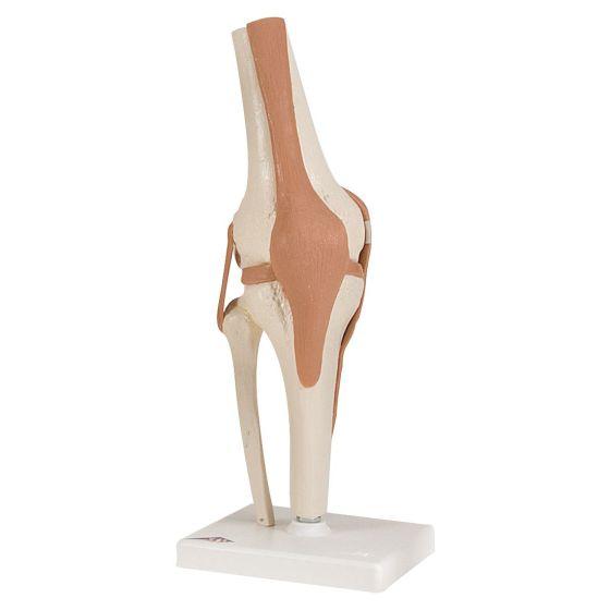 Functional Knee Joint Model