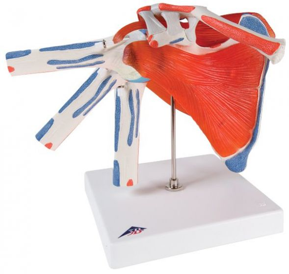 Shoulder Joint With Rotator Cuff