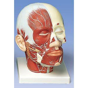 Head And Neck Musculature With Nerves