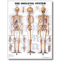"""Skeletal System Poster - 20"""" X 26"""" Styrene Chart"""