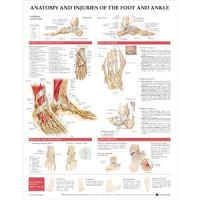 """Foot And Ankle Chart, 20"""" X 26"""" Styrene"""