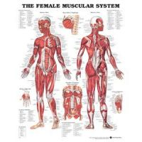 Chart Female Muscular System 1.5 Mil 20X26 Lamnt