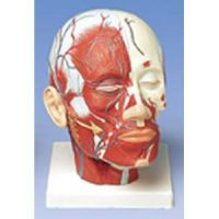 Head Musculature W/ Blood Vessels