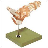 Foot & Ankle Functional Model